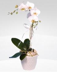 1 dallı orkide saksı çiçeği  Kocaeli çiçek , çiçekçi , çiçekçilik
