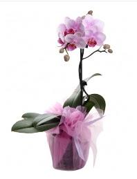 1 dal pembe orkide saksı çiçeği  çiçek gönderme