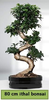 80 cm özel saksıda bonsai bitkisi  Kocaeli çiçekçiler
