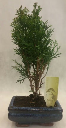SINIRLI SAYIDA ÜRÜN Selvi Bonsai  hediye çiçek yolla