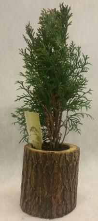 SINIRLI STOK Selvi Bonsai Doğal kütükte  hediye çiçek yolla
