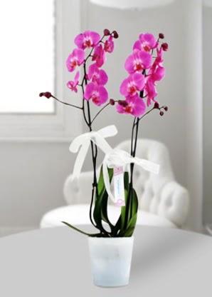 Çift dallı mor orkide  Kocaeli anneler günü çiçek yolla