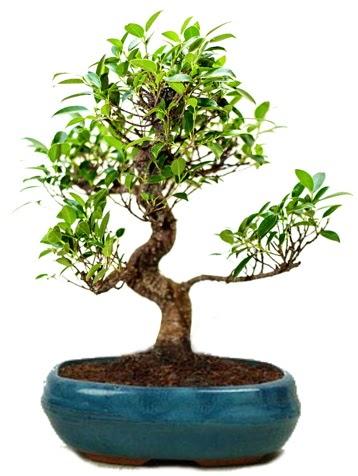 25 cm ile 30 cm aralığında Ficus S bonsai  Kocaeli çiçekçi mağazası
