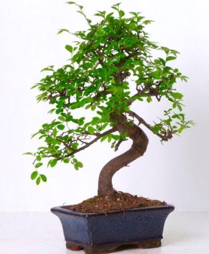 S gövdeli bonsai minyatür ağaç japon ağacı  Kocaeli çiçekçi mağazası
