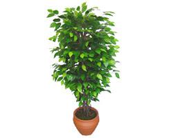 Ficus Benjamin 1,50 cm   Kocaeli online çiçekçi , çiçek siparişi