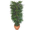Kocaeli uluslararası çiçek gönderme  Özel Mango 1,75 cm yüksekliginde