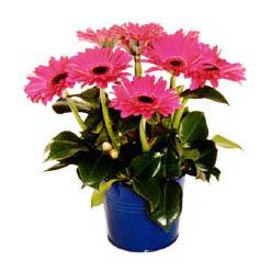 vazo içerisinde gerbera çiçekleri   Kocaeli çiçek servisi , çiçekçi adresleri