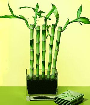 Kocaeli online çiçekçi , çiçek siparişi  Good Harmony Lucky Bamboo camda