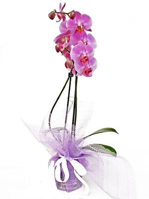 Kocaeli online çiçekçi , çiçek siparişi  Kaliteli ithal saksida orkide