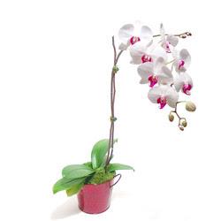 Kocaeli internetten çiçek satışı  Saksida orkide
