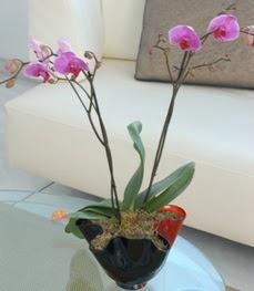 Kocaeli cicekciler , cicek siparisi  tek dal ikili orkide saksi çiçegi