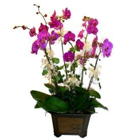 Kocaeli çiçek mağazası , çiçekçi adresleri  4 adet orkide çiçegi