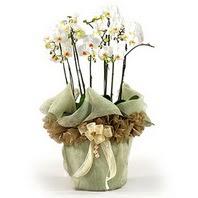 Kocaeli uluslararası çiçek gönderme  3 dal orkide , saksi çiçegi , 3 kök orkide