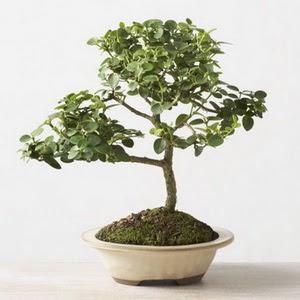 ithal bonsai saksi çiçegi  Kocaeli İnternetten çiçek siparişi