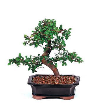 ithal bonsai saksi çiçegi  çiçek online çiçek siparişi