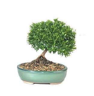 ithal bonsai saksi çiçegi  kaliteli taze ve ucuz çiçekler
