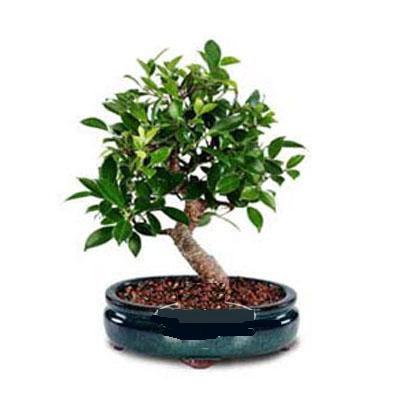 ithal bonsai saksi çiçegi  Kocaeli uluslararası çiçek gönderme