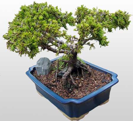 ithal bonsai saksi çiçegi  Kocaeli cicekciler , cicek siparisi