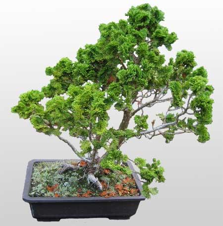 ithal bonsai saksi çiçegi  hediye çiçek yolla