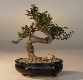 ithal bonsai saksi çiçegi  yurtiçi ve yurtdışı çiçek siparişi