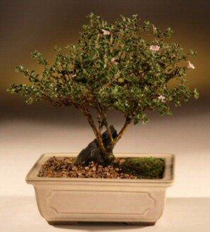 ithal bonsai saksi çiçegi  çiçek yolla