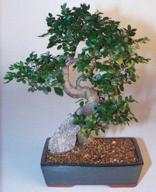 Kocaeli çiçekçi mağazası  ithal bonsai saksi çiçegi  Kocaeli uluslararası çiçek gönderme