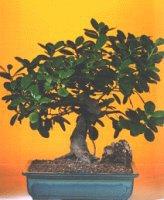 Kocaeli çiçekçiler  ithal bonsai saksi çiçegi  Kocaeli hediye sevgilime hediye çiçek