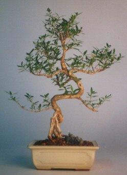 Kocaeli internetten çiçek siparişi  ithal bonsai saksi çiçegi  çiçek online çiçek siparişi
