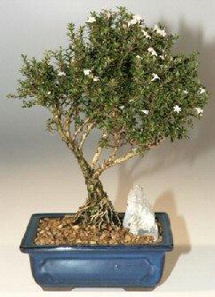 Kocaeli çiçek siparişi vermek  ithal bonsai saksi çiçegi  Kocaeli çiçek servisi , çiçekçi adresleri