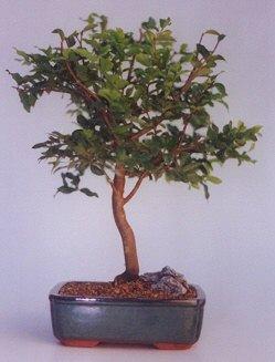 Kocaeli online çiçek gönderme sipariş  ithal bonsai saksi çiçegi  Kocaeli online çiçekçi , çiçek siparişi
