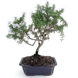 ithal bonsai saksi çiçegi  Kocaeli çiçekçiler