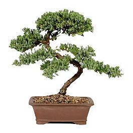 ithal bonsai saksi çiçegi  Kocaeli çiçekçi mağazası