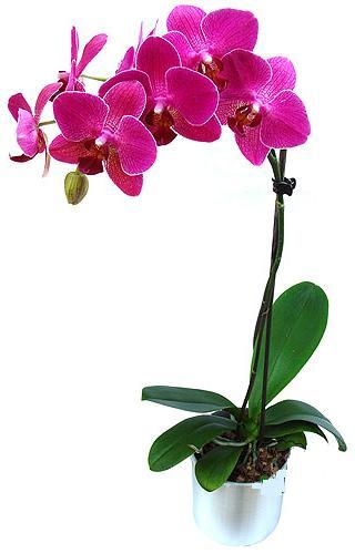 Kocaeli cicekciler , cicek siparisi  saksi orkide çiçegi