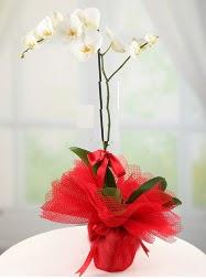 1 dal beyaz orkide saksı çiçeği  Kocaeli çiçek satışı