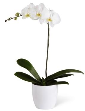 1 dallı beyaz orkide  yurtiçi ve yurtdışı çiçek siparişi