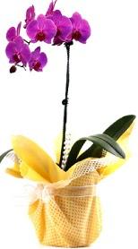 Kocaeli uluslararası çiçek gönderme  Tek dal mor orkide saksı çiçeği