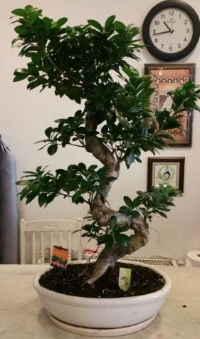 100 cm yüksekliğinde dev bonsai japon ağacı  hediye çiçek yolla
