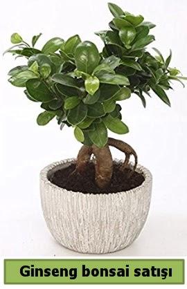 Ginseng bonsai japon ağacı satışı  Kocaeli çiçekçiler