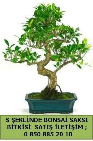 İthal S şeklinde dal eğriliği bonsai satışı  Kocaeli internetten çiçek satışı