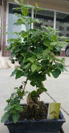 Bonsai japon ağacı saksı bitkisi  çiçek online çiçek siparişi