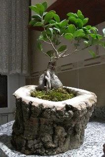 Ahşap kütük içerisinde ginseng bonsai  Kocaeli hediye sevgilime hediye çiçek