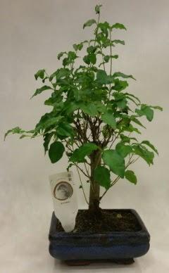 Minyatür bonsai japon ağacı satışı  Kocaeli çiçekçiler