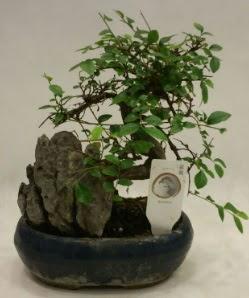 İthal 1.ci kalite bonsai japon ağacı  Kocaeli internetten çiçek siparişi