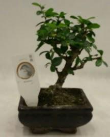 Küçük minyatür bonsai japon ağacı  Kocaeli internetten çiçek satışı