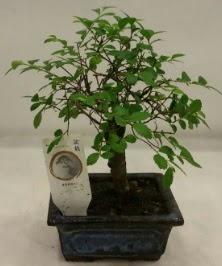 Minyatür ithal japon ağacı bonsai bitkisi  Kocaeli internetten çiçek siparişi