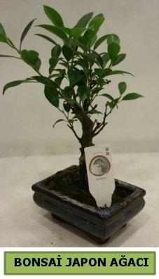 Bonsai japon ağacı saksı bitkisi  Kocaeli çiçek gönderme sitemiz güvenlidir