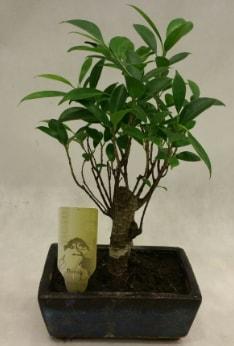 Japon ağacı bonsai bitkisi satışı  Kocaeli çiçekçiler
