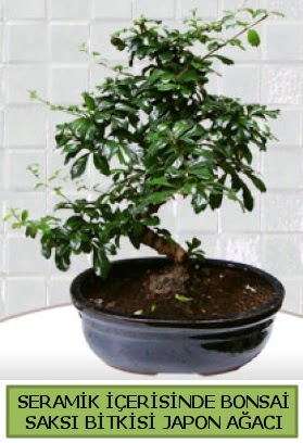 Seramik vazoda bonsai japon ağacı bitkisi  Kocaeli uluslararası çiçek gönderme