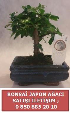 Japon ağacı minyaür bonsai satışı  Kocaeli internetten çiçek siparişi