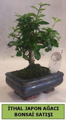İthal japon ağacı bonsai bitkisi satışı  Kocaeli çiçekçiler